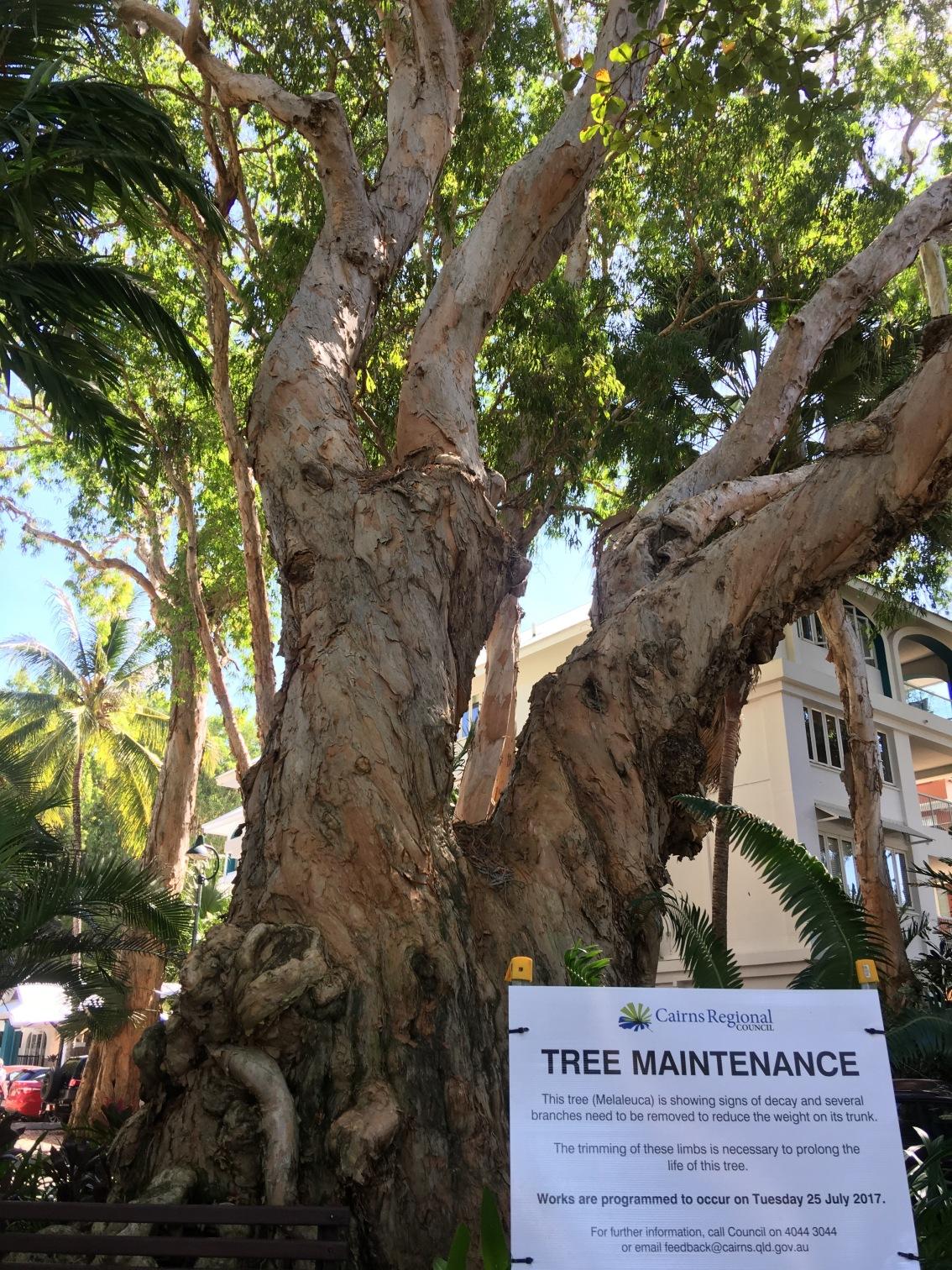 Palm Cove MelaleucaTrees